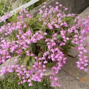 ギンギアナム 今年は花がいっぱい