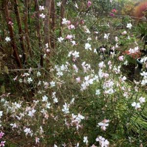 花茎が風にさらさらと揺れる姿が~宿根草有難う!