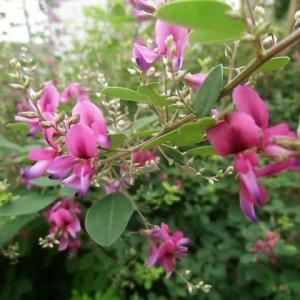 秋の七草ハギの花~~~オキナワスズメウリを木から降ろす