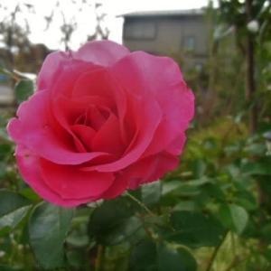 """薔薇""""うらら""""と宿根草"""