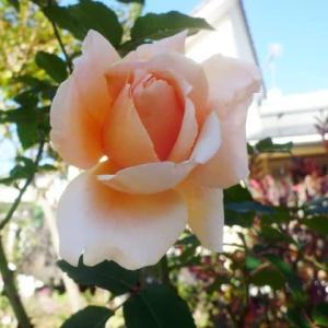快晴に一輪の薔薇