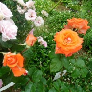 薔薇と宿根草とハーブ