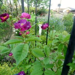 庭仕事が忙しくなりました~~~5月の庭から