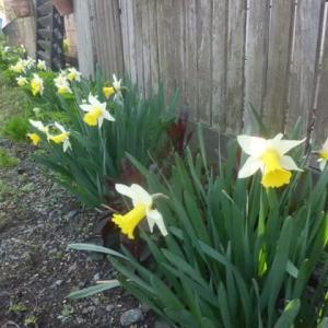 今日の庭~遅咲き水仙