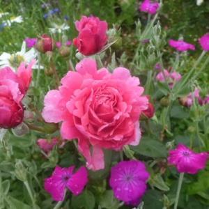 薔薇アライブが華やかに~お宅訪問に