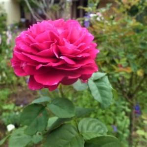 梅雨でも乱れない薔薇