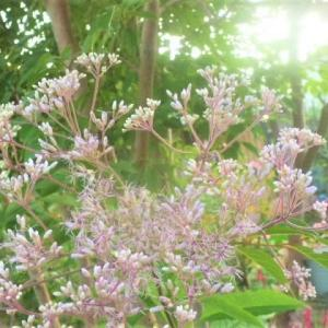 シモツケソウの花と~つばめ朝顔の開花