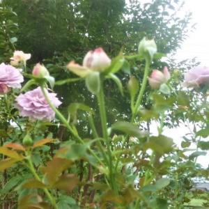いつもと違う夏の薔薇・・・