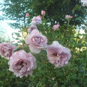 薔薇ノヴァリスが気になる朝