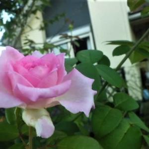 リビングから見た薔薇ビバリーと庭の花