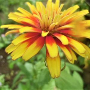 ・・・100日咲いてる花!