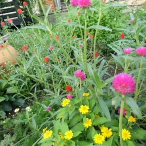 庭に夏の花がまだ咲いてます