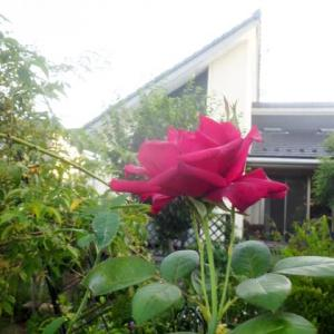 薔薇オクラホマとハーブ