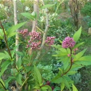 秋の七草フジバカマと庭木の剪定