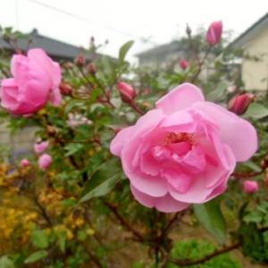 薔薇スタンダード仕立てが咲き続けてます。
