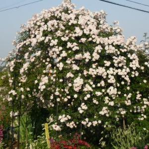 アーチに合う薔薇ヒマラヤンムスク