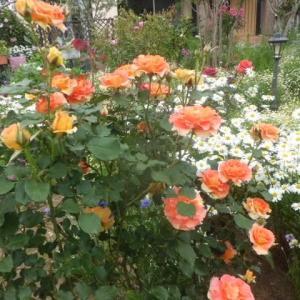 薔薇と宿根草