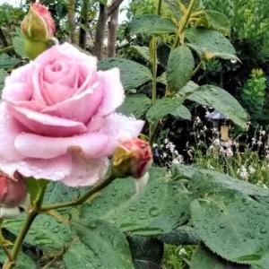 梅雨入りして薔薇の手入れ