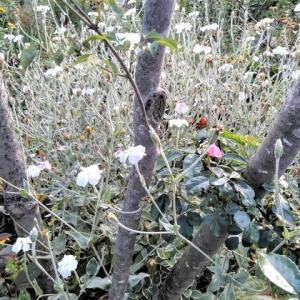 白い花と~リシマキアフャイヤークラッカーの庭