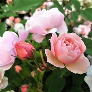 ツル薔薇剪定を始める~筋肉量が増えた!