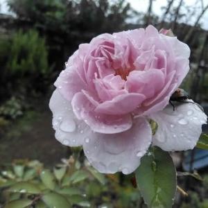 薔薇に栄養を~クレマチス2番花