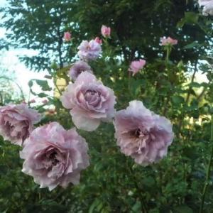 薔薇と庭木に消毒!