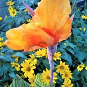 葉が美しいカンナ!トロピカーナ・ダーバン
