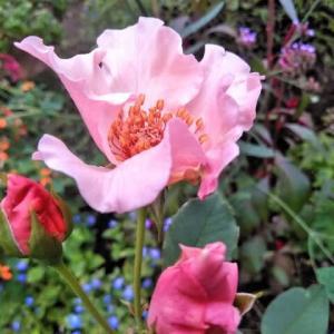 薔薇デンティベスと大輪百日草