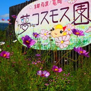 亀岡の夢コスモス園