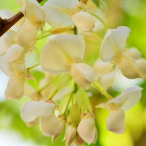 白い藤咲く散歩道
