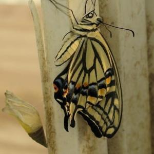 アゲハ蝶の