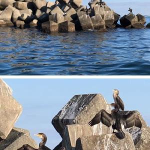 出漁帰りに翼を広げる大きな鳥を発見。