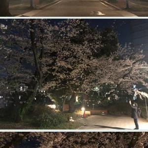 東大構内の桜は満開でも人は居ません。