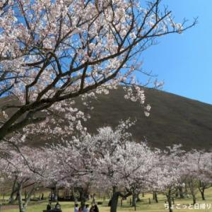 伊豆屈指の桜の名所「さくらの里」・見頃に入った園内を散策!(伊東市)