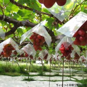 フルーツ王国・山梨でぶどう狩り!いろいろなぶどうを食べ比べ(山梨県南アルプス市)