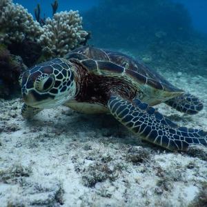 貸切ツアーでウミガメに会いに行く☆サンゴもお魚もいっぱい!