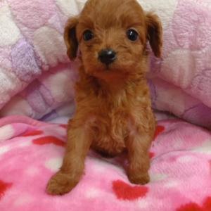 スムースチワワ ✖ プードル の子犬生まれてます♪