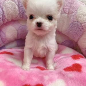 チワワの子犬生まれてます♪