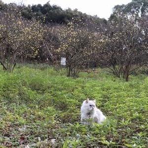 ロウバイは咲いたけど・・・河津桜まだだなぁ