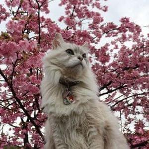 河津桜をバックに、ドアップウルフ