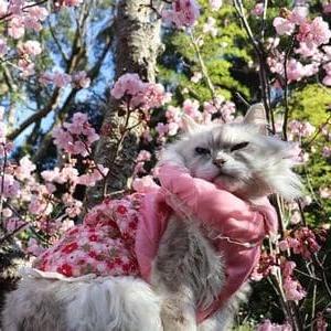 薄紅寒桜が満開になってたぁ