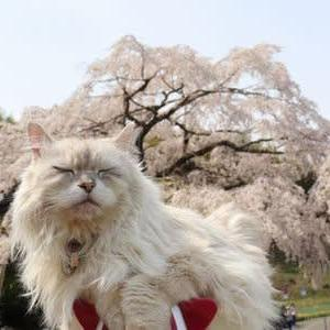 堀池のしだれ桜(香川県)