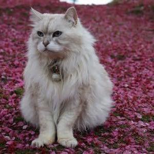 ドックランドの桜絨毯
