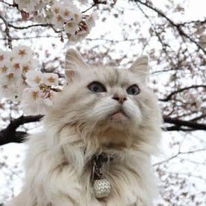 桜 (2020年3月29日撮影)
