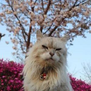 近くの桜 咲きだしたにゃぁ