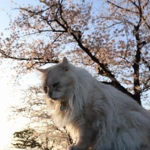 夕日パワー充電中の桜(川之江城)