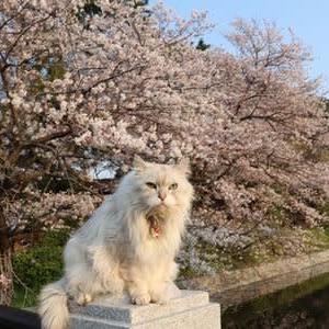 堀端の桜 (夕方撮影)