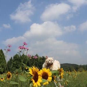 ひまわりとコスモス(世羅高原農場)