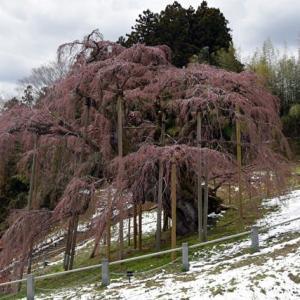 【三春の滝桜】一寸早かった!