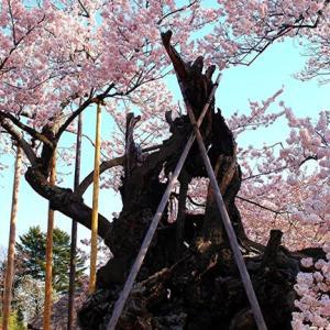 【桜いろいろ】